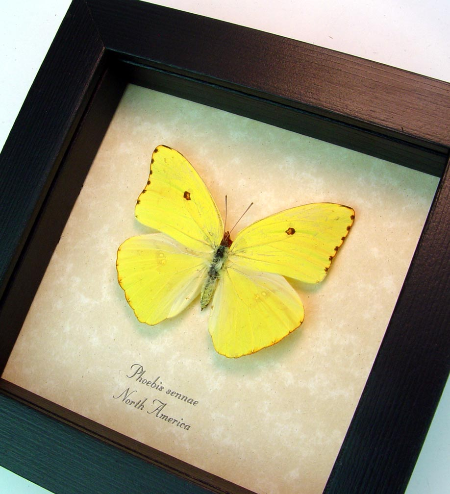 Cloudless Sulphur Phoebis Sennae Female ooak