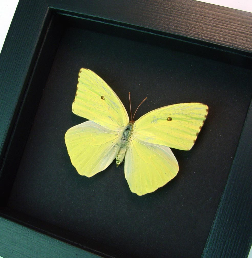 Cloudless Sulphur Phoebis Sennae Female Moonlight Display ooak