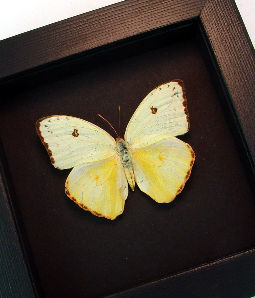 Cloudless Sulphur Phoebis Sennae Female White Form Moonlight Display ooak