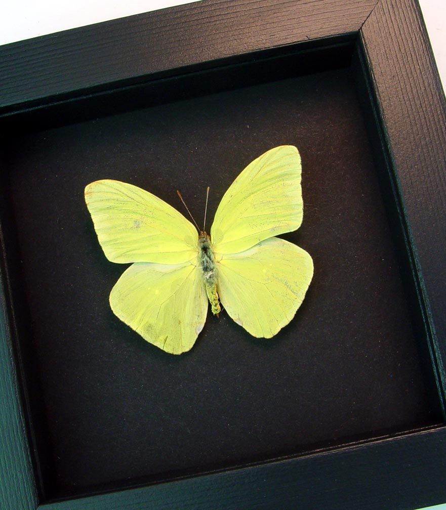 Cloudless Sulphur Phoebis Sennae Male Moonlight Display ooak