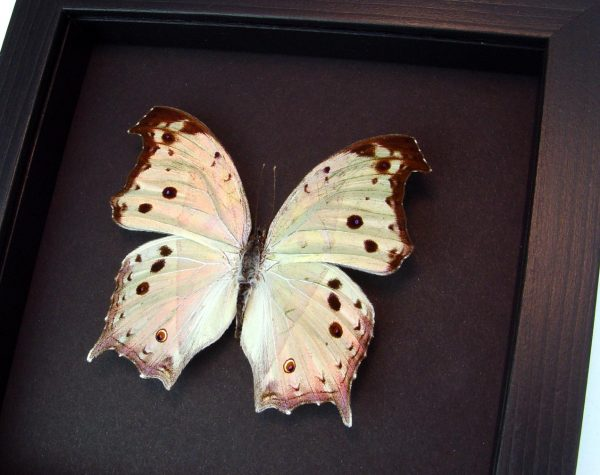 Mothers Day Mother Of Pearl Butterfly Salamis parhassus Moonlight Display ooak