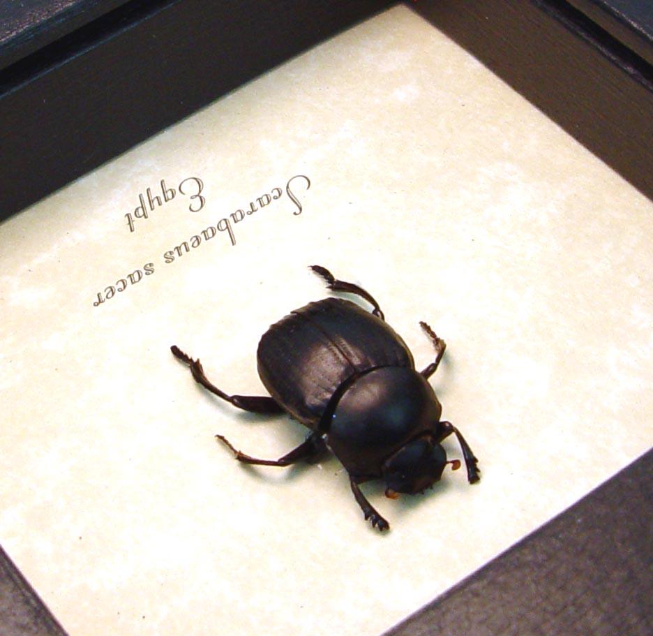 Scarabaeus sacer Egyptian Scarab Framed Beetle ooak