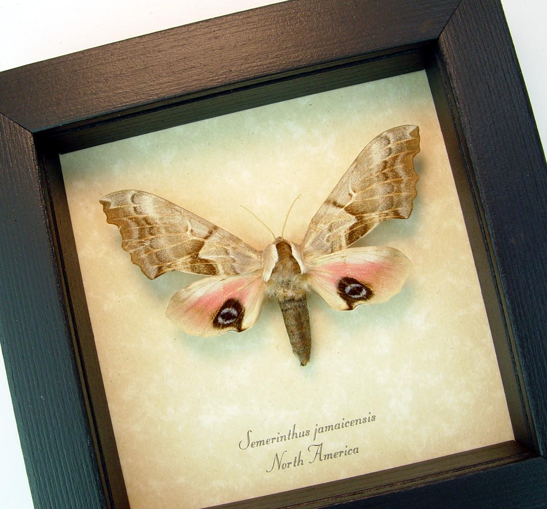 Smerinthus jamaicensis Female One-eyed Sphinx Moth ooak