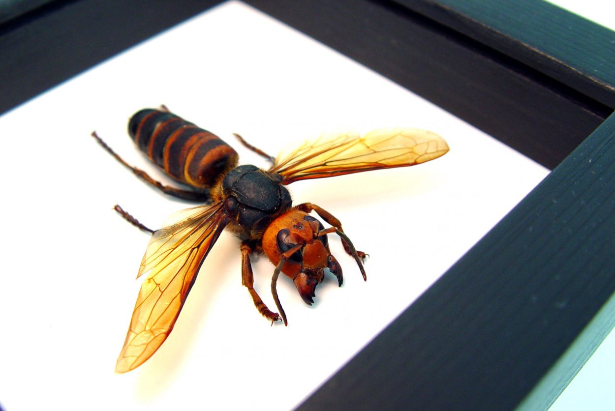 Murder Hornet Vespa mandarinia japonica Large Asian Hornet Classic Black Display ooak