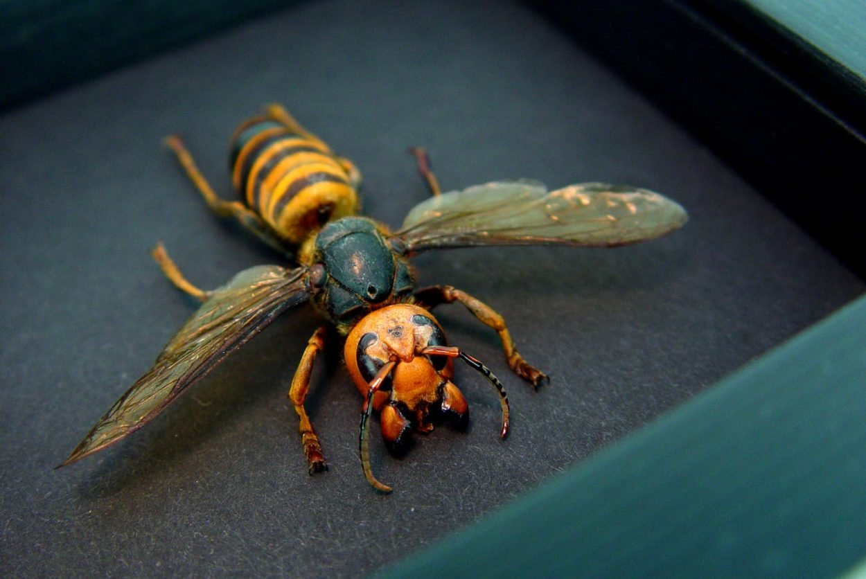 Murder Hornet Vespa mandarinia japonica Large Asian Hornet Moonlight Display ooak