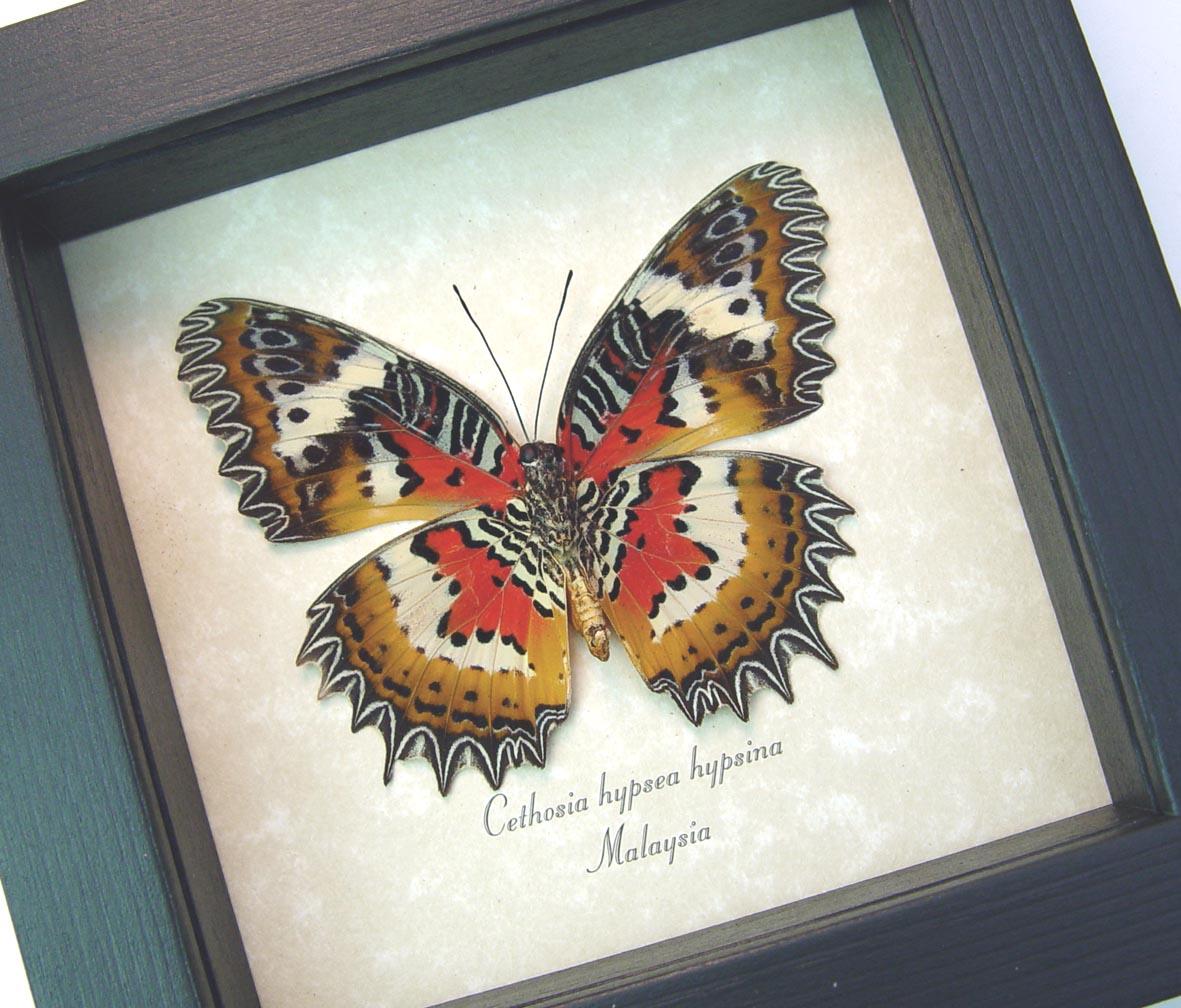 Cethosia hypsea hypsina Verso Framed Malay Lacewing Butterfly ooak