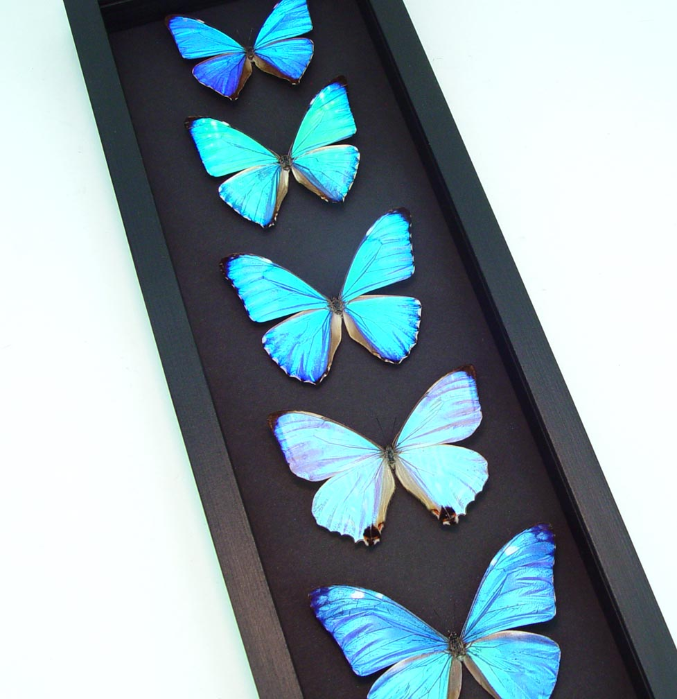 Diamond Morpho Butterfly Collection Moonlight Display ooak