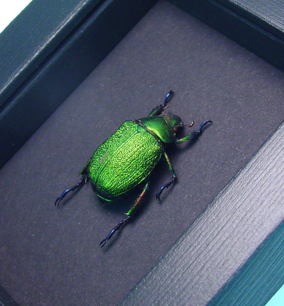 Chrysophora chrysochlora female Green Jewel Beetle Moonlight Display ooak