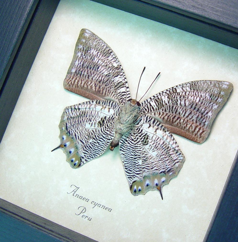 Anaea cyanea Verso Silver Snakeskin Butterfly ooak