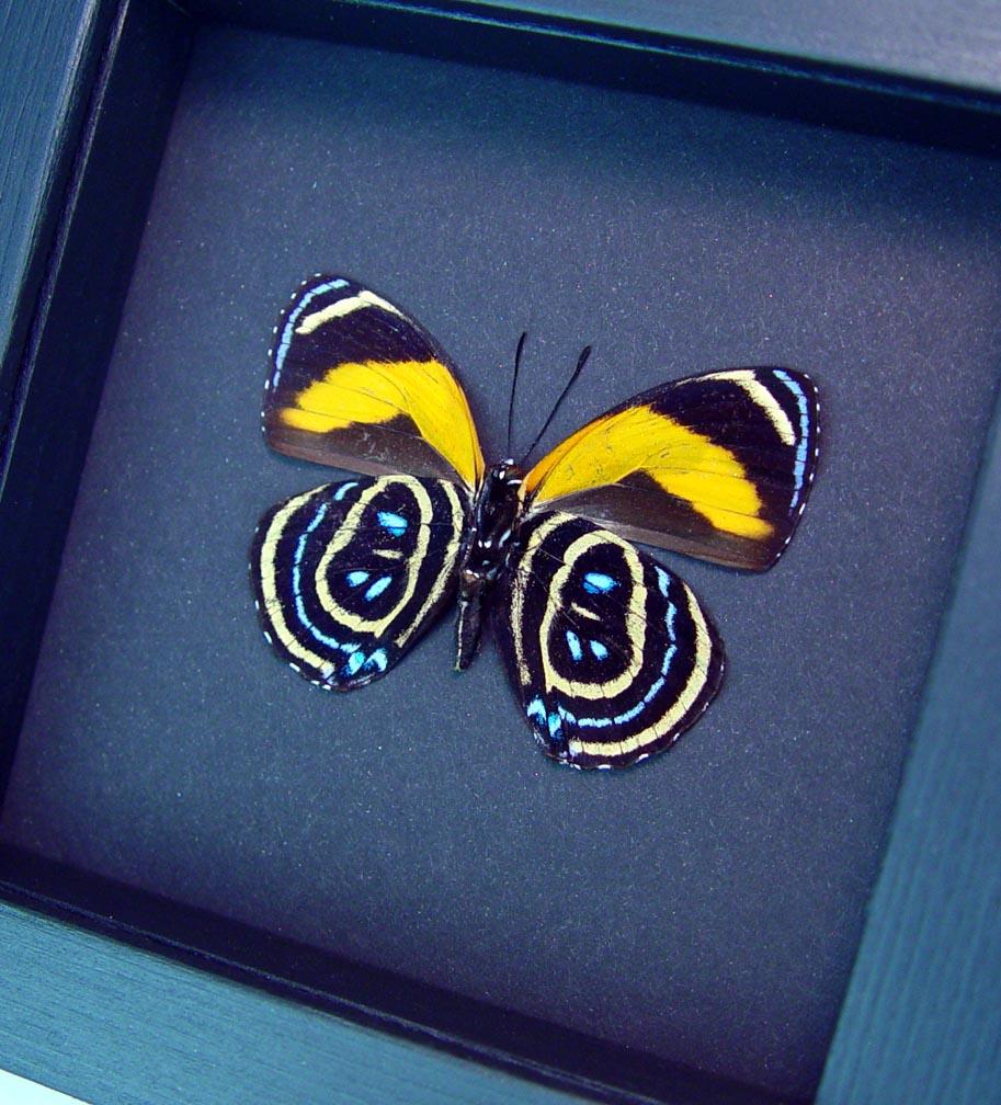 Callicore pastazza Verso Framed Orange Butterfly Moonlight Display ooak