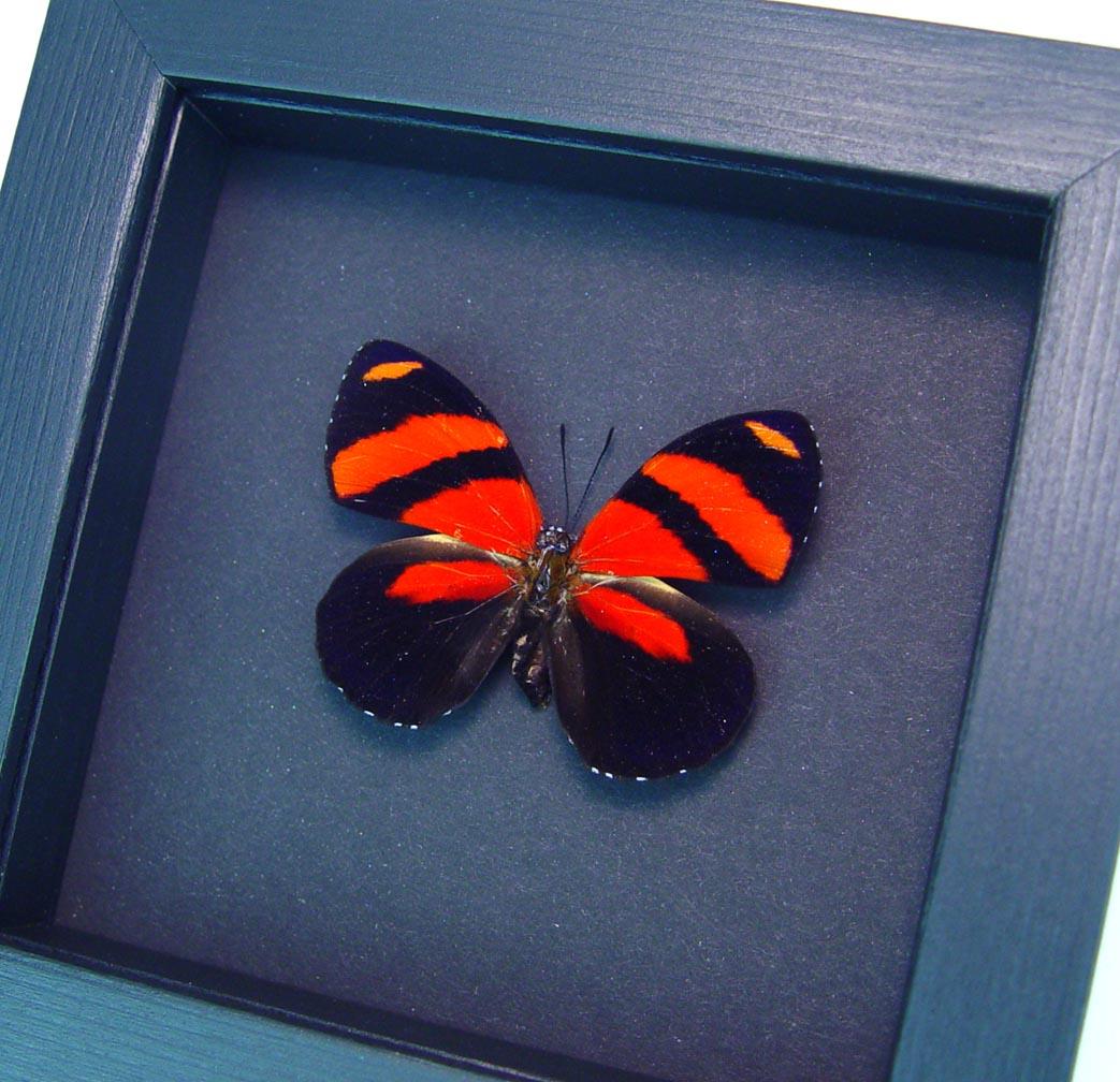 Blood Red Butterfly Framed Catagramma cynosura Moonlight Display ooak