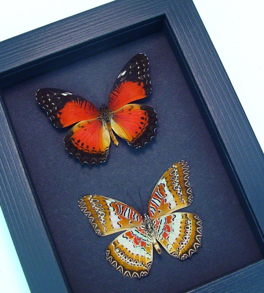 Cethosia biblis Pair Red Lacewing Butterflies Moonlight Display