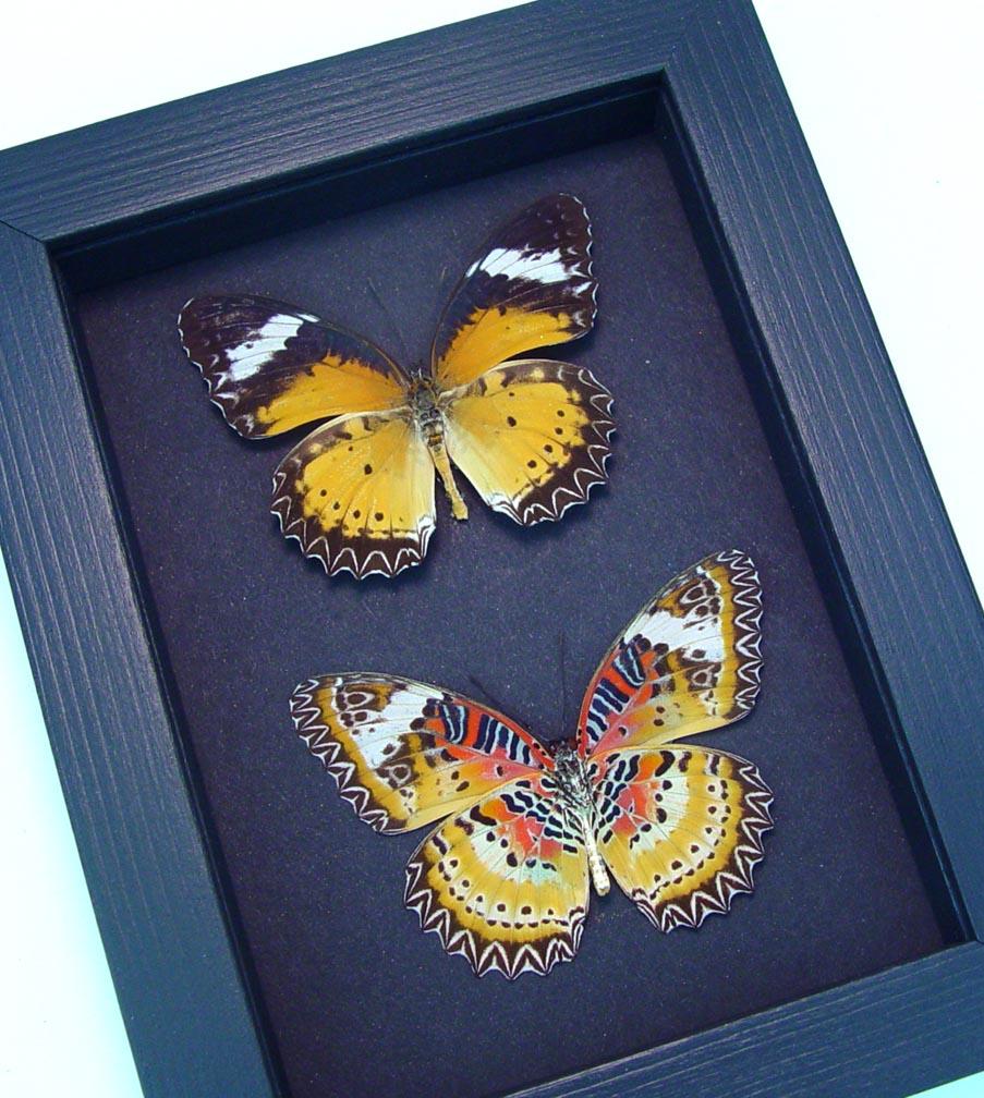 Cethosia cyane Set Leopard Lacewing Butterflies Moonlight Display ooak
