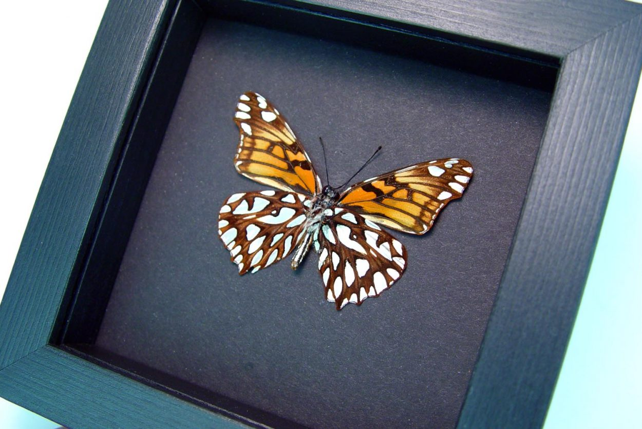 Dione moneta verso Mexican Silverspot Butterfly Moonlight Display ooak