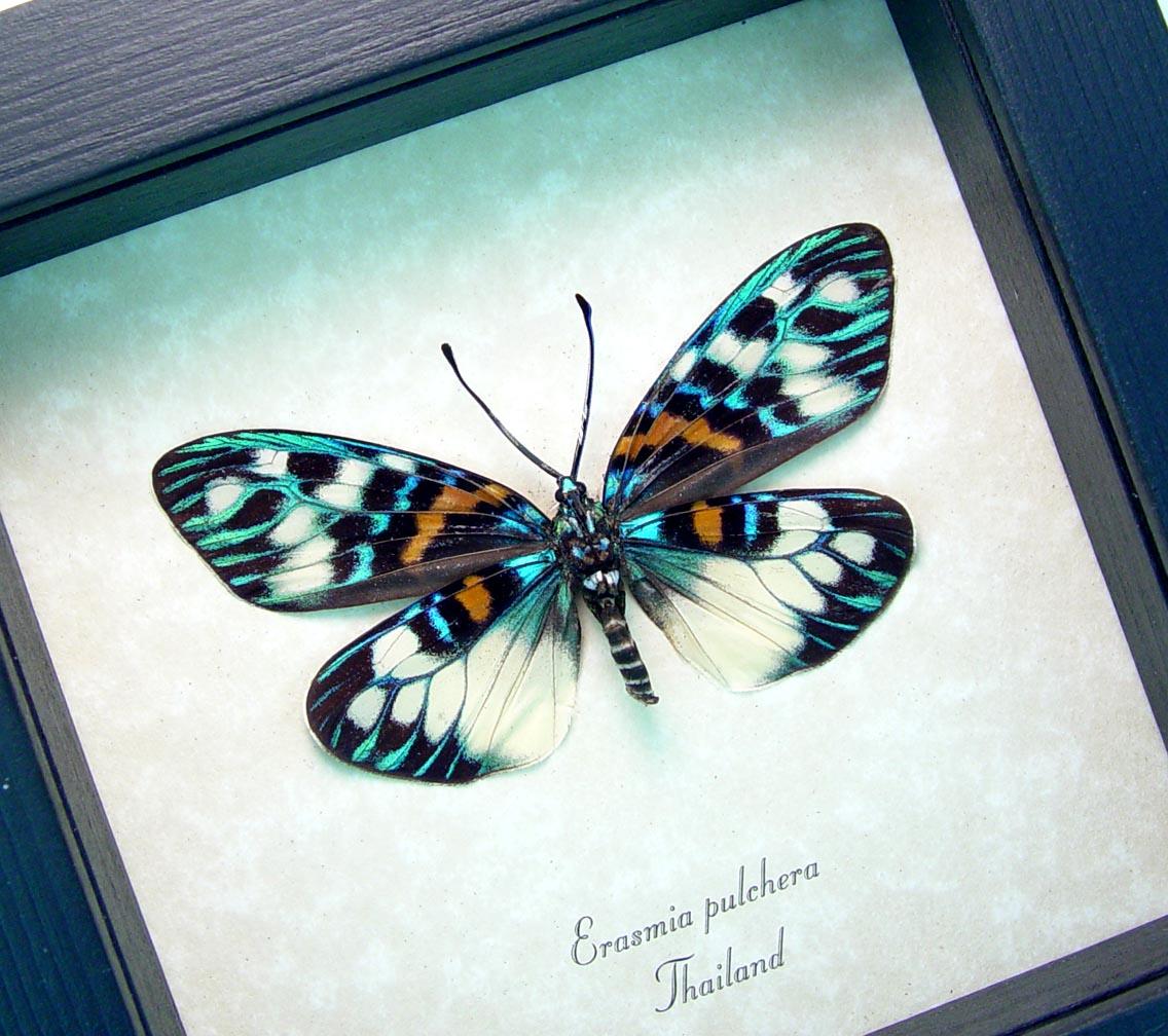 Erasmia pulchera verso Day Flying Moth ooak