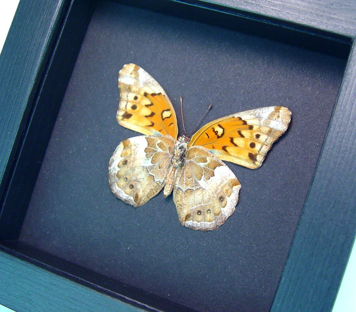 Euptoieta claudia Variegated Fritillary Butterfly Moonlight Display ooak