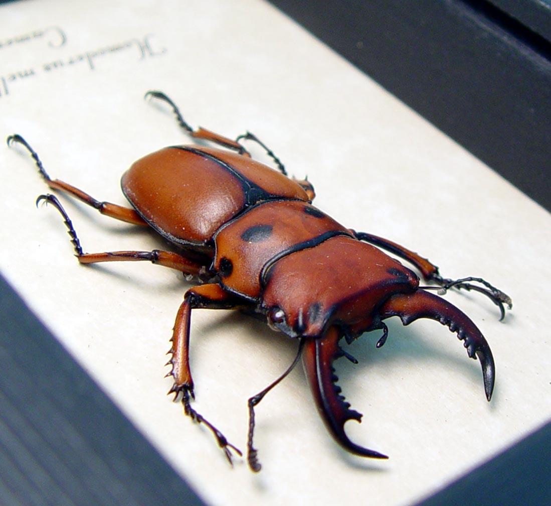 Homoderus mellyi Male 42mm Hummer Beetle ooak