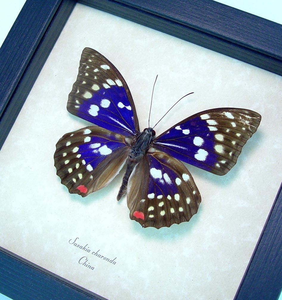 Sasakia charonda Japanese Emperor Framed Purple Butterfly