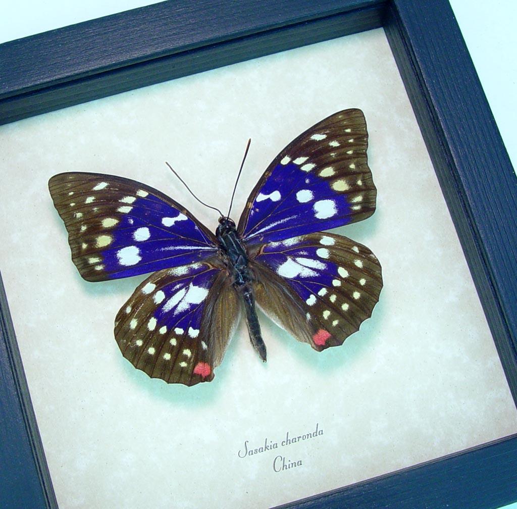 Sasakia charonda Purple Emperor Framed Butterfly ooak