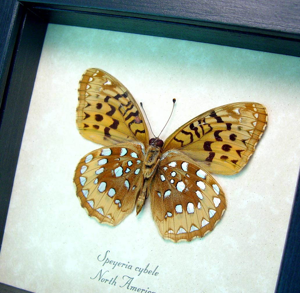 Speyeria cybele Spangled Fritillary Butterfly ooak