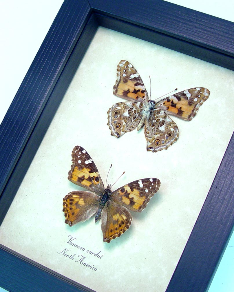 Painted Lady Butterflies Real Framed Vanessa cardui Pair