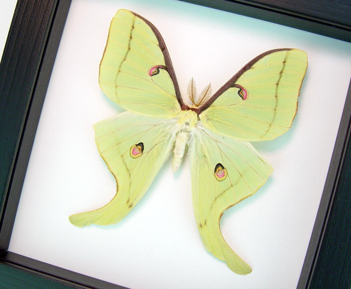 Actias luna male Luna Moth Classic Black display Excellent Color ooak