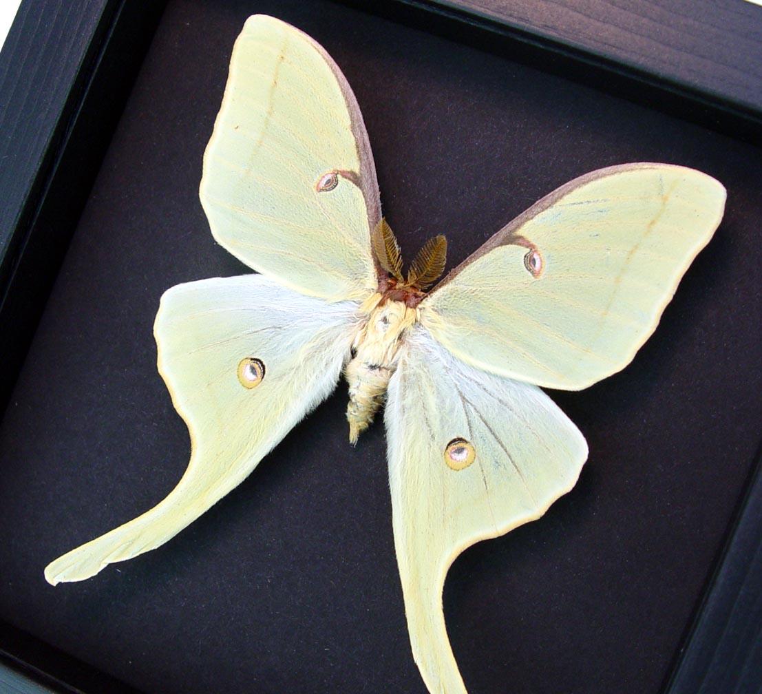 Actias luna Male Framed Luna Moth Moonlight Display Excellent Color ooak