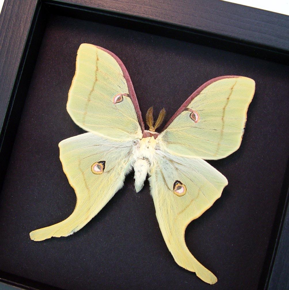 Framed Luna Moth Actias luna Male Moonlight Display Excellent Color ooak