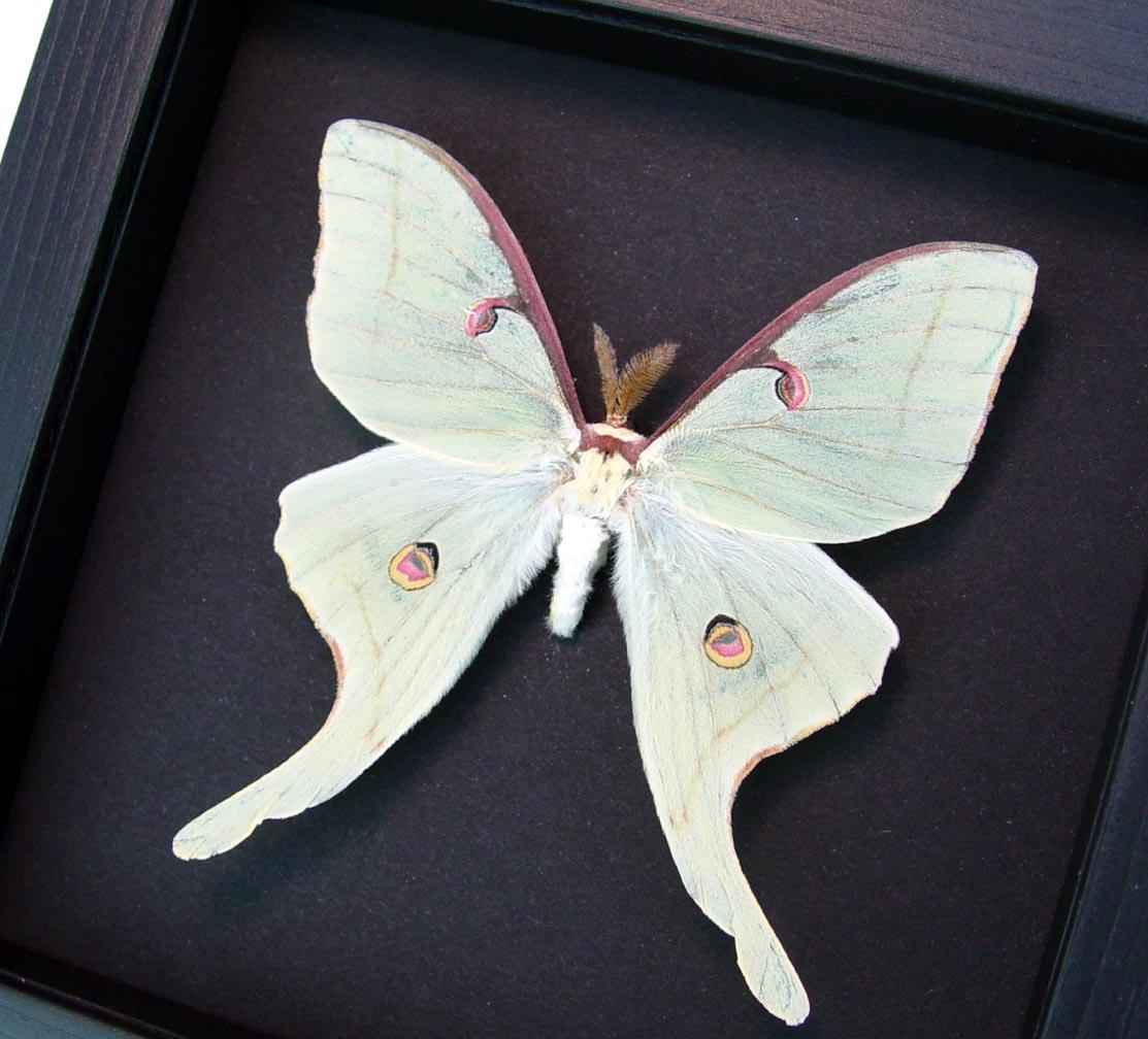Actias luna Male Luna Moth Moonlight Display ooak