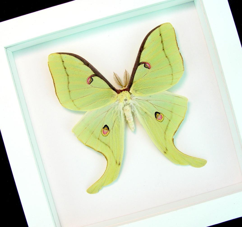 Actias luna male Luna Moth Vibrant White display Excellent Color