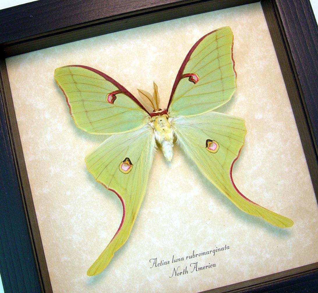 Framed Luna Moth Actias luna rubromarginata Male display Excellent Color ooak