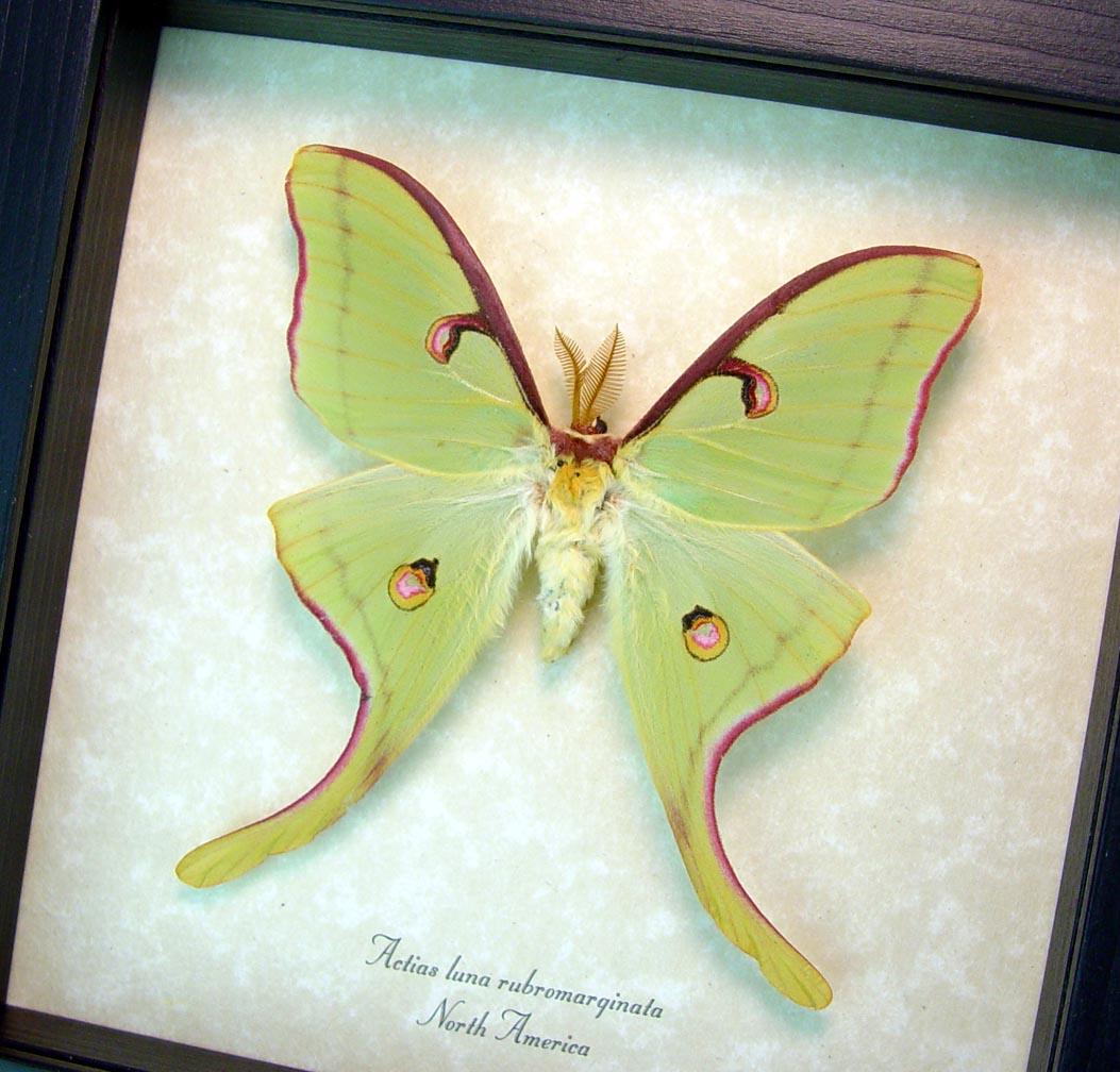 Framed Luna Moth Actias luna rubromarginata Male Excellent Colors ooak