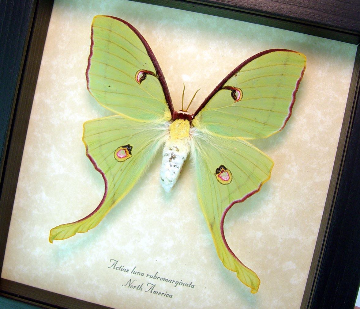 Actias luna rubromarginata Female Luna Moth display Excellent Colors ooak
