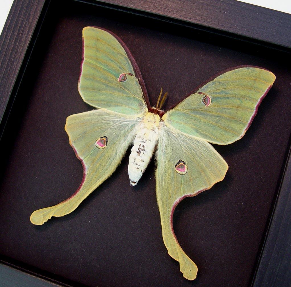 Actias luna rubromarginata Female Luna Moth Moonlight Display ooak