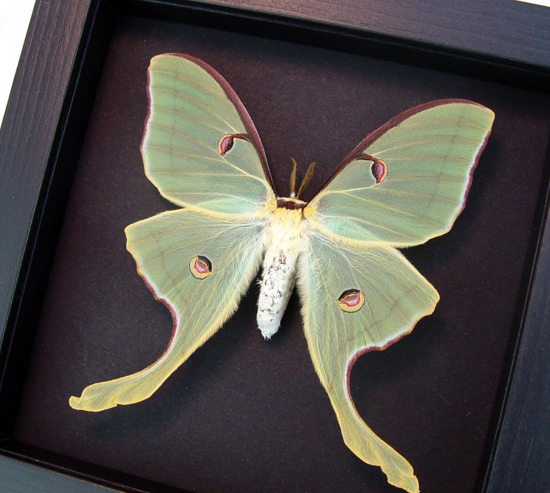 Actias luna rubromarginata Female Framed Luna Moth Moonlight Display ooak