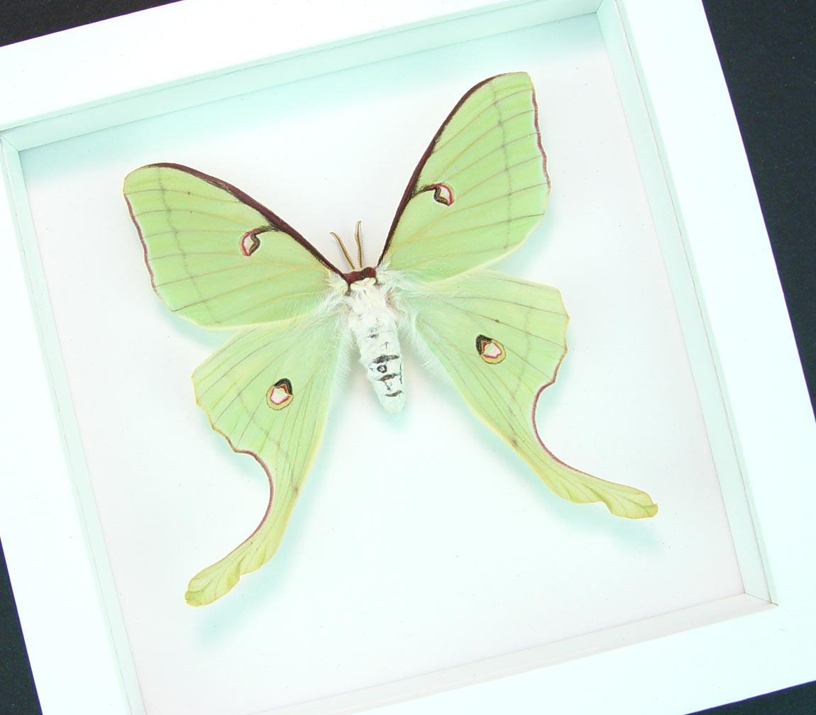 Actias luna rubromarginata Female Framed Luna Moth Vibrant White Display