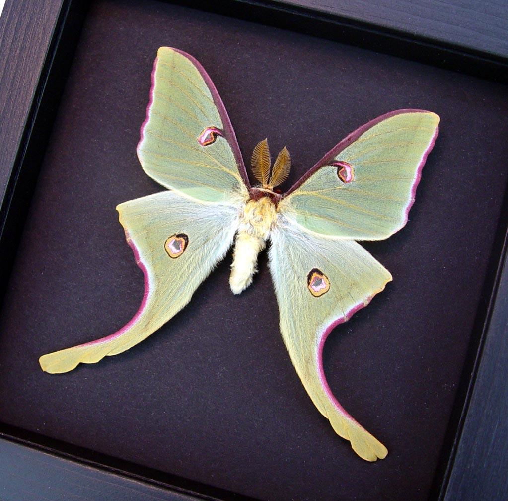 Actias luna rubromarginata Male Framed Luna Moth Moonlight Display Excellent Color ooak