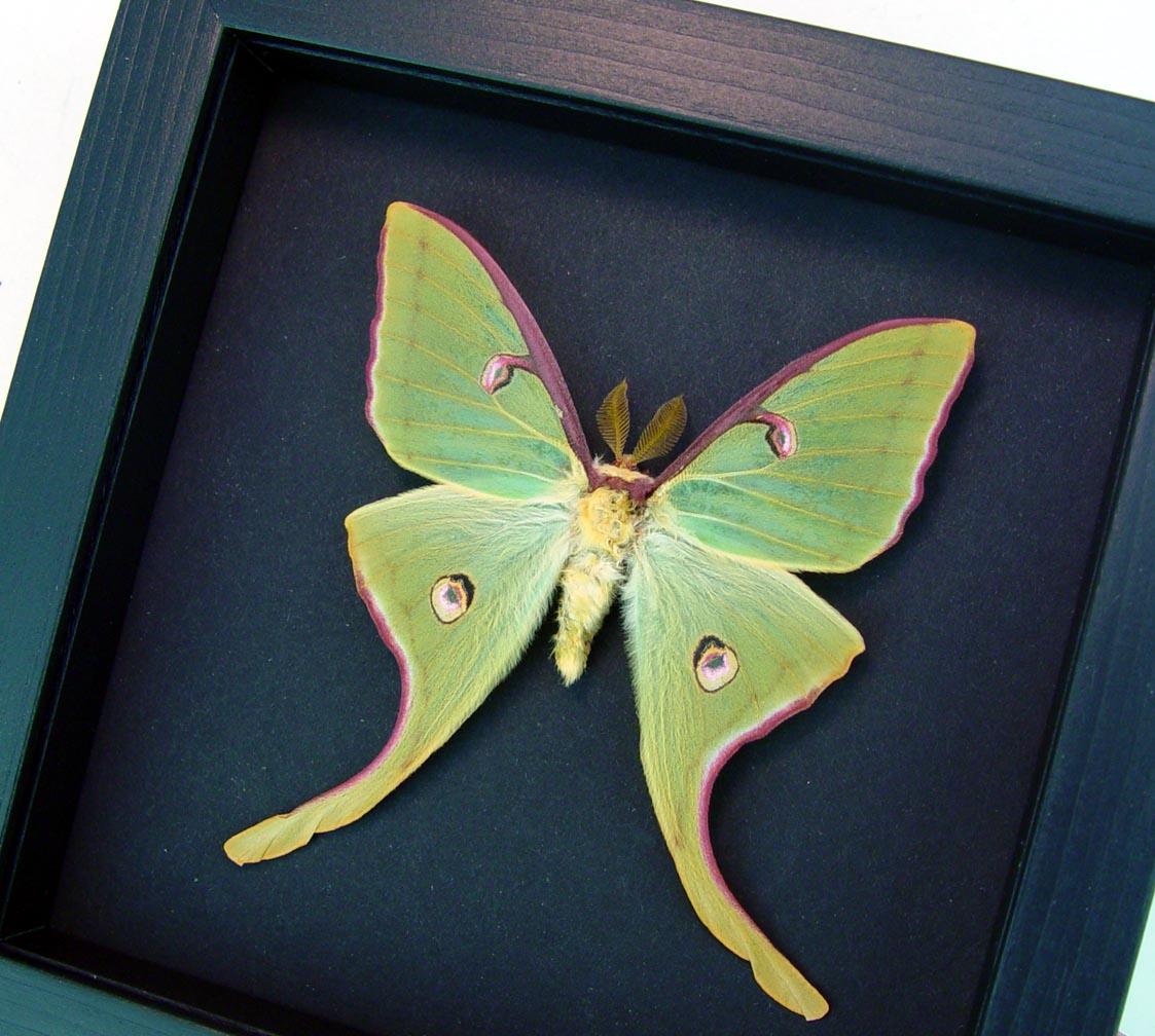 Actias luna rubromarginata Male Luna Moth Excellent Colors Moonlight Display ooak