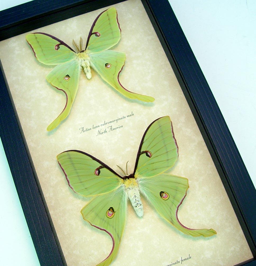 Framed Luna Moths Actias luna rubromarginata Pair Excellent Colors ooak