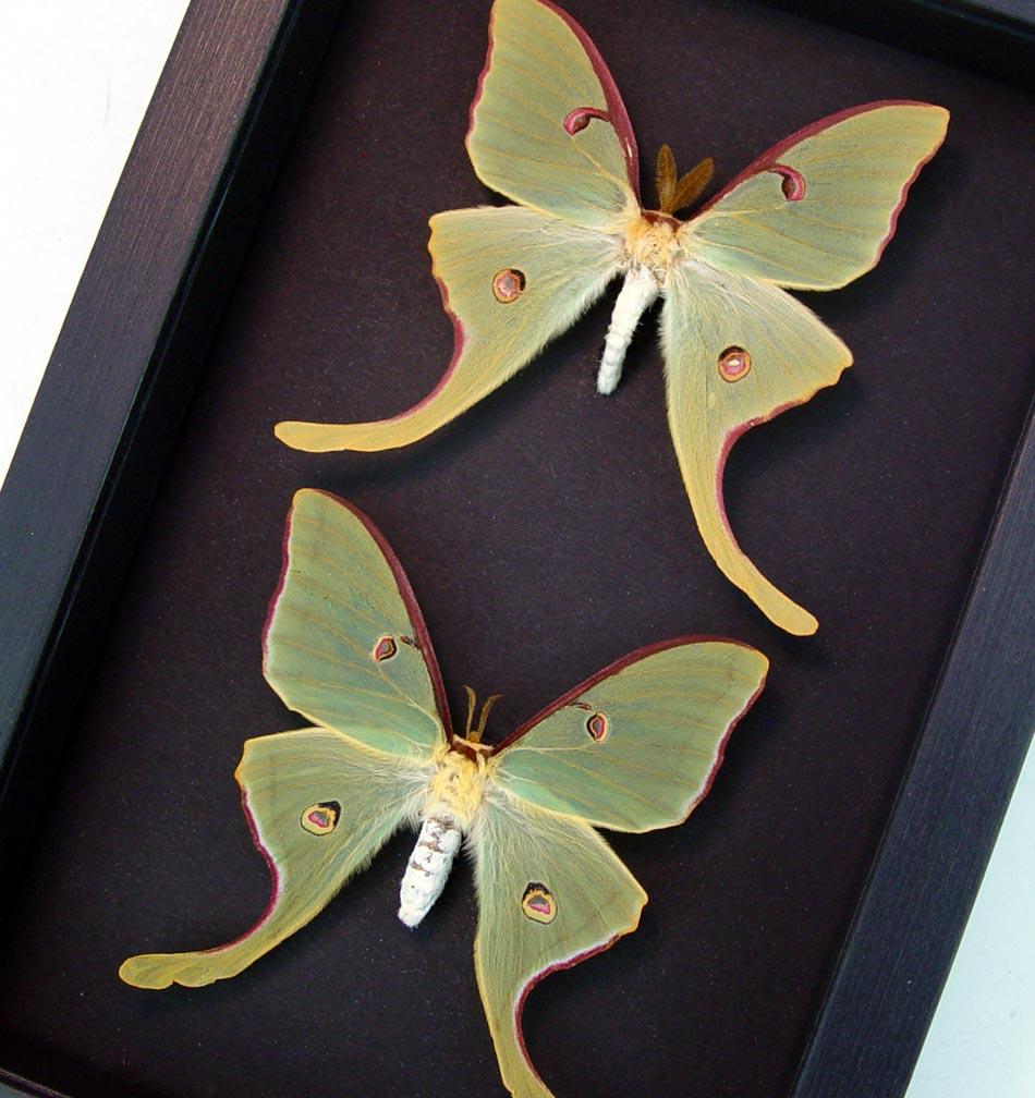 Framed Luna Moths Actias luna rubromarginata Pair Moonlight Display Excellent Colors ooak