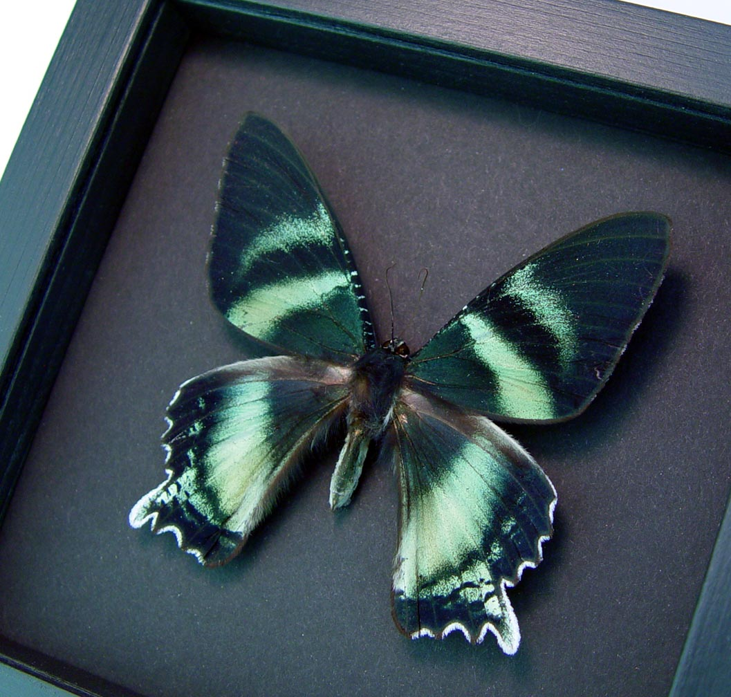 Alcides agathyrsus Zodiac Moth Moonlight Display Framed Moth ooak