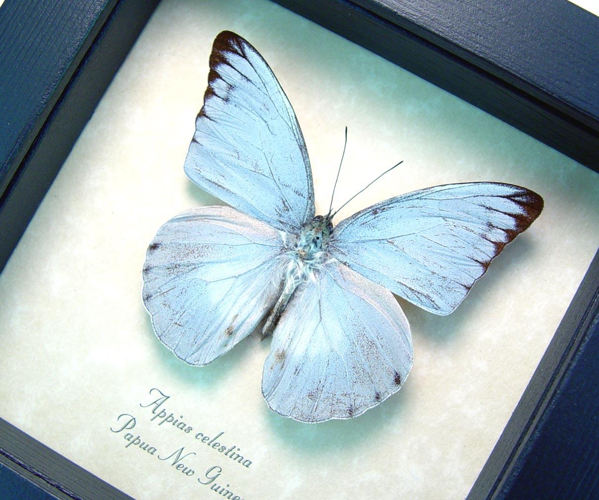 Appias celestina Framed Blue Butterfly ooak
