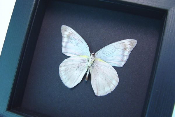 Appias celestina verso Gray Ghost Butterfly Moonlight Display