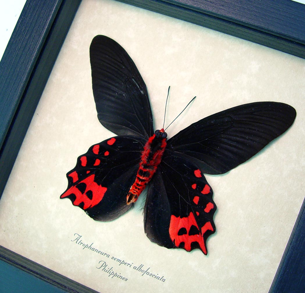 Atrophaneura semperi albofasciata Blood Red Vampire Butterfly ooak
