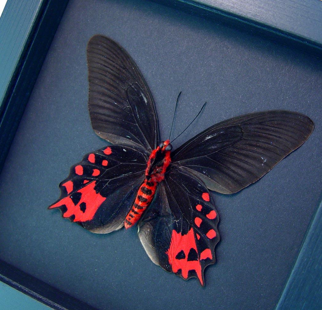 Atrophaneura semperi albofasciata Blood Red Vampire Butterfly Moonlight Display ooak