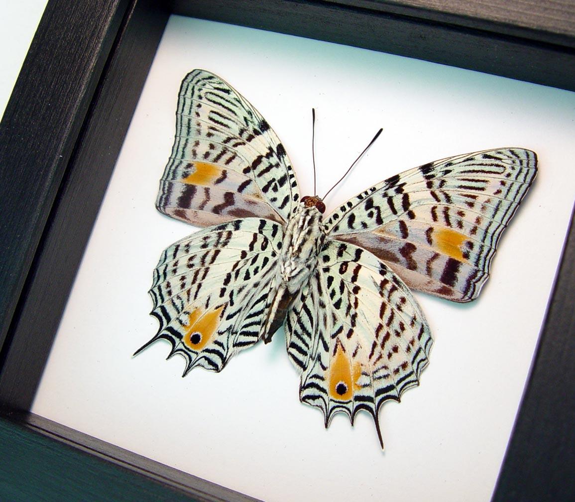 Baeotus baeotus Gold Flower Butterfly Classic Black Display ooak