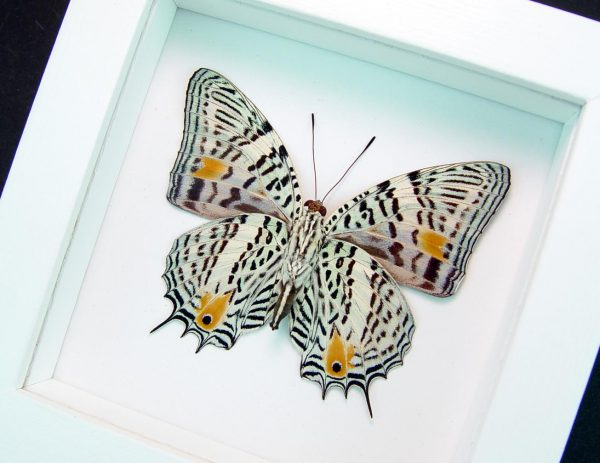 Baeotus baeotus Gold Flower Butterfly Vibrant White Display