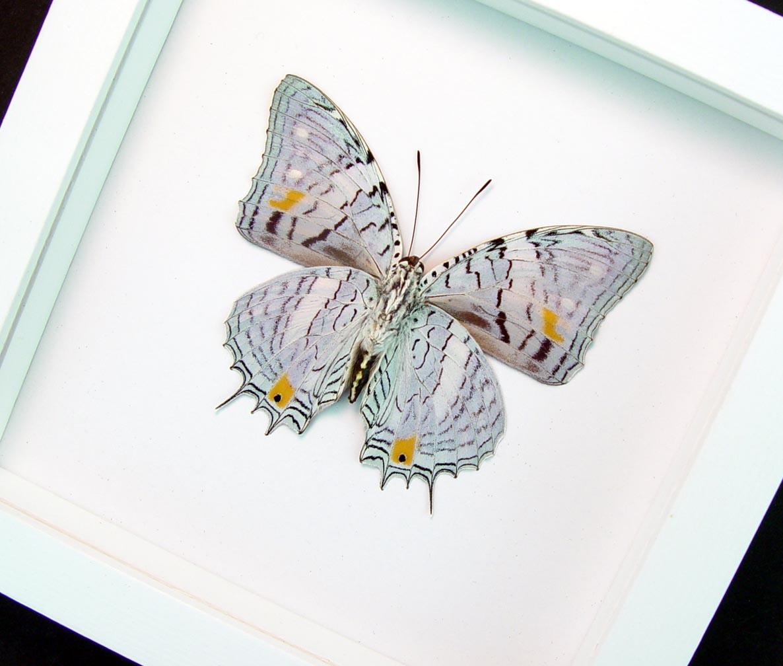 baeotus japetus Japetus Beauty Butterfly Vibrant White Display