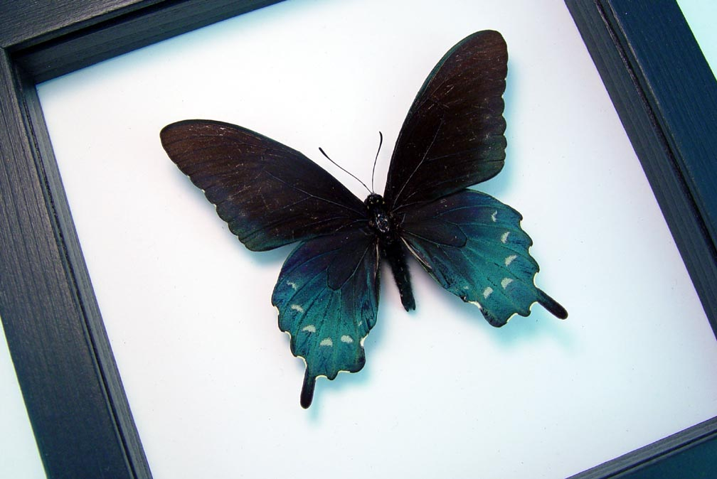 Framed Pipevine Swallowtail Butterfly Battus Philenor Classic Black Display
