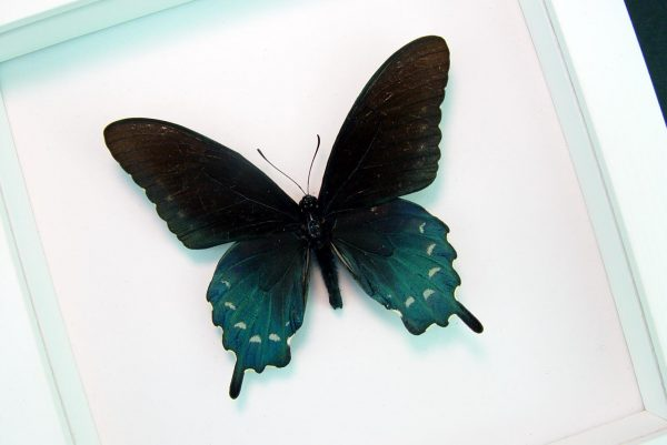 Framed Pipevine Swallowtail Butterfly Battus Philenor Vibrant White Display